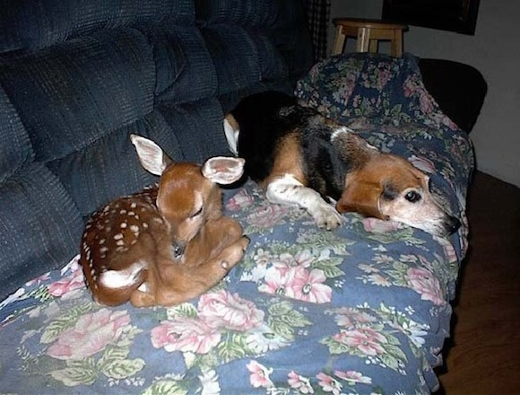 beagles and bambi...awwwwwwwBaby Deer, Couch, Dogs Day, Pets, Beagles, Doggie Doors, Maryland, New Friends, Animal