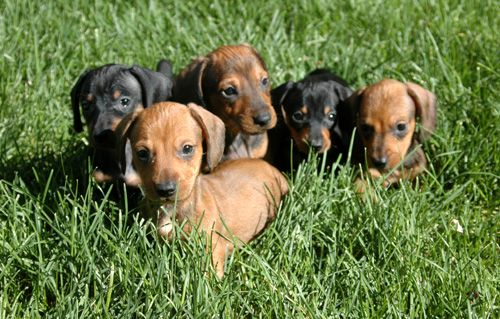 A group of adorable dachshund puppies #dachshund #cute via http://www.cutepuppiesforsale.net/dachshund-dog-breed/#