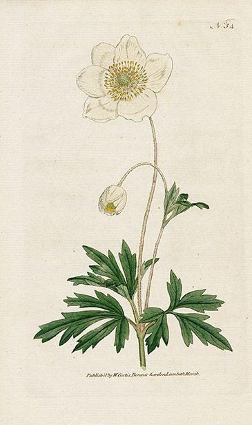 25 beste idee n over botanische tekeningen op pinterest botanische illustratie en botanische. Black Bedroom Furniture Sets. Home Design Ideas