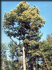 SUNY-ESF: The American Chestnut Research and Restoration Project