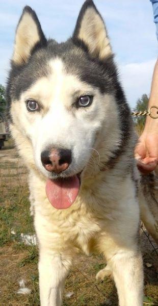 Axel to pies w typie husky. Niestety Axel nie widzi, lecz wydaje się, ze ślepota w cale mu nie przeszkadza być szczęśliwym psem. Bardzo dobrze adaptuje się do nowego otoczenia, potrafi zbadać teren i jest na ogół bardzo czujny.Axel nie sprawia żadnych problemów, nie szuka zaczepki wśród innych psów. Jest spokojnym psem, który lubi być rozpieszczany. Szukamy dla niego odpowiedzialnych opiekunów, dla których ślepota pieska nie będzie problemem! On sam radzi sobie z nią doskonale !