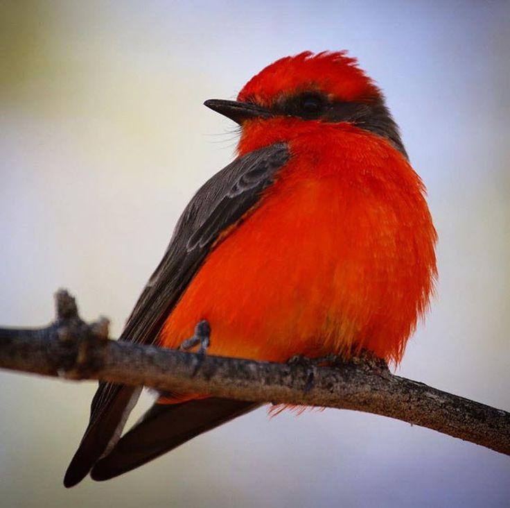 Vermilion Flycatcher   Tucson   Arizona   Birding   Photo via Instagram by @derrickkirkwood