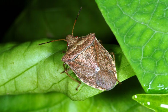 Trap squash bugs by laying out cardboard, newspaper or 1-by-4-inch boards around the plants.  Squash bugs will congregate under the boards at night and can be destroyed in the morning by sparying with soapy water (32 oz. hot water and 1 3/4 cups of dish soap).  Inspect squash plants daily and spray all bugs/eggs found.