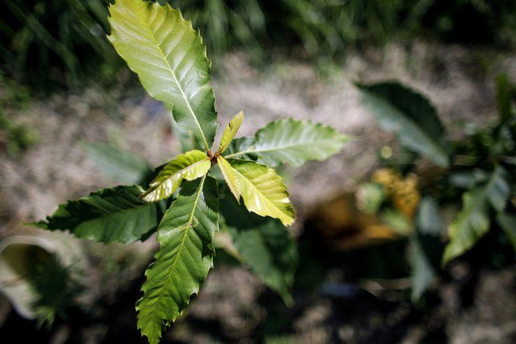 American chestnut tree blight resistance breeding at the chestnut research orchard in the Arboretum at Penn State University, September 11, 2017. Dan Gleiter | dgleiter@pennlive.com