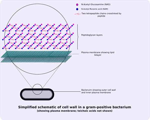 BACTERIAL CELL WALL STRUCTURE: Gram-positive and Gram-negative bacteria - The amount and location of peptidoglycan in the prokaryotic cell wall is what determines whether a bacterium is Gram-positive or Gram-negative. Good summary article from the free science education website ScienceProfOnline.com,