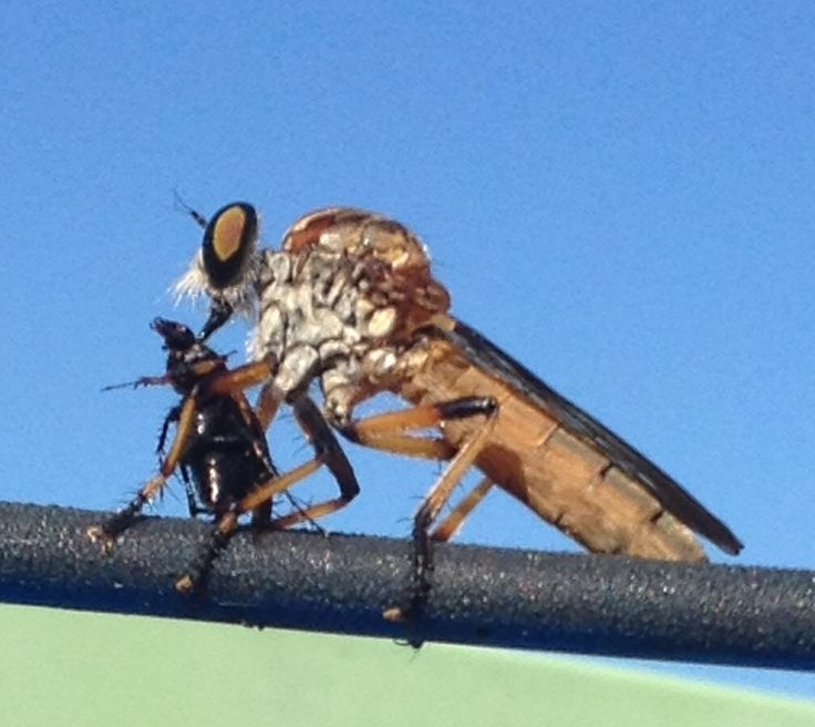 Robber Fly enjoying its meal