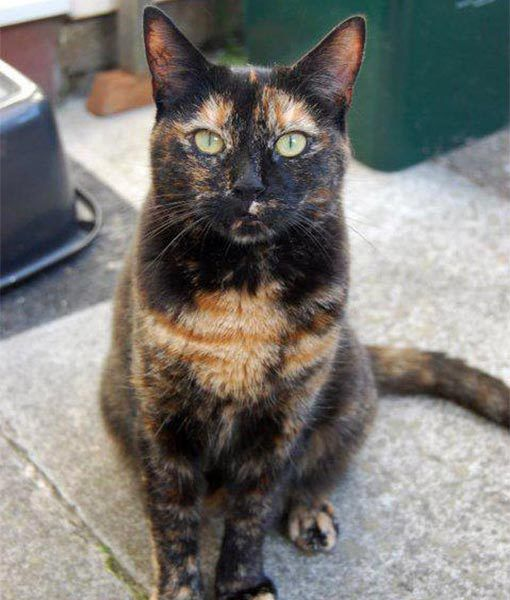 93 best images about Tortie cats on Pinterest