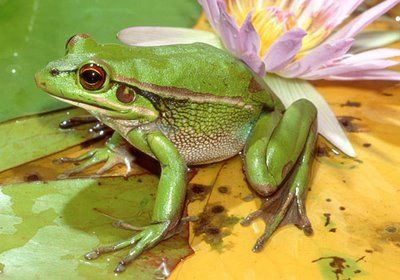 Green and Golden Bell Frog ... 21 per cent of the world's frog species are critically endangered or endangered. The green and golden bell frog was once one of the most common frog species in southeast Australia but is now a threatened species.