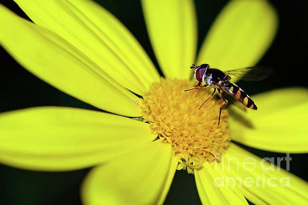 #Hoverfly on Bright #Yellow #Daisy by #Kaye_Menner #Photography Quality Prints Cards Products at: https://kaye-menner.pixels.com/featured/hoverfly-on-bright-yellow-daisy-by-kaye-menner-kaye-menner.html