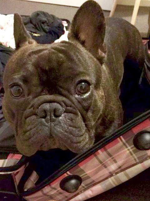 French Bulldog Stowaway❤ Basil the Frenchie, @basil_the_frenchie on Instagram