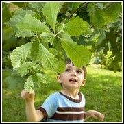 Chinquapin Oak Tree for Sale | Buy Oak Trees at Low Prices | Pre-Orders Not Charged Til Fall