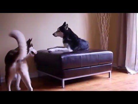 Two Siberia huskies having an argument