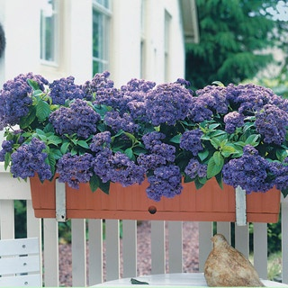 Heliotrope Iowa - old fashioned and such a heavenly scent.  Love this plant!
