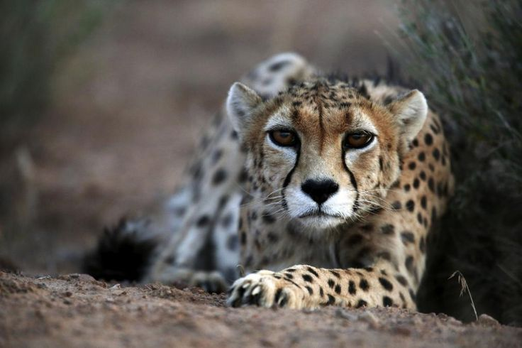 A Rare Cheetah May Be on the Verge of Extinction in Iran