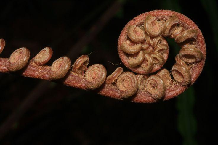 Cyathea glabra | por Polylepis