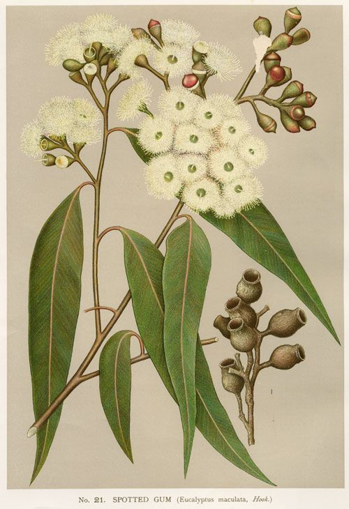 Australian Botanical Illustration  Corymbia maculata  Spotted Gum  artist…