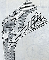 Pez anserinus-  mnemonic: SGT FOT (sergeant FOT).S- Sartorius G- Gracilis T- semiTendinosus (from medial to lateral) F- femoral nerve O- obturator nerve T- tibial nerve. The sciatic nerve itself cannot technically innervate anything because it is merely the designation for the common sheath that encases the tibial and common fibular nerves.) Notice the order of the muscles (S, G, T) follows the order of the innervating nerves which correspond to those muscles (F, O, T)