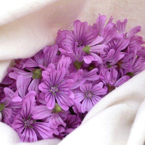 récolte des fleurs de mauve