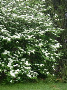 I have to try and propagate a mock orange shrub at my parent's house, which was planted the year I was born, so I want a piece of it in my yard now. :)
