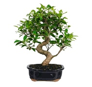 #BeautifulBonsai I love these beautiful bonsai trees from Bonsai Boss. They have the best selection and prices of any bonsai retailer I have seen ! www.bonsaiboss.com