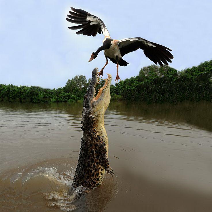 Australia Darwin Northern Territory Saltwater Crocodile