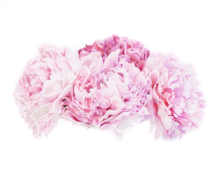 Pink Peonies Illustration #peonies #peoniesdrawing #floraldrawing #lovepeonies #peonyflower
