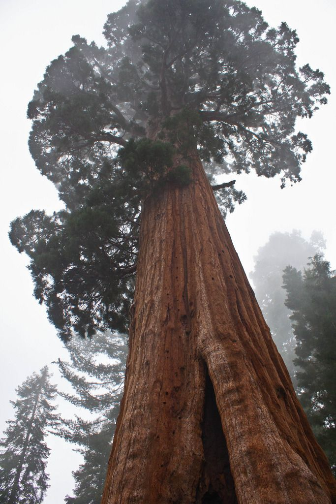 "just-breezy:  "" General Sherman Tree  by Dawn Beattie  General Sherman is a giant sequoia tree located in the Giant Forest of Sequoia National Park in Tulare County, in the U.S. state of California. By volume, it is the largest known living single stem tree on Earth."
