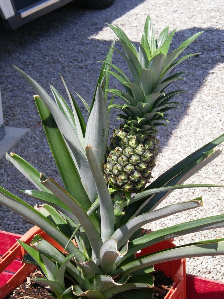 If you cut the top off a pineapple and replant it in a 5 for How do i plant a pineapple top