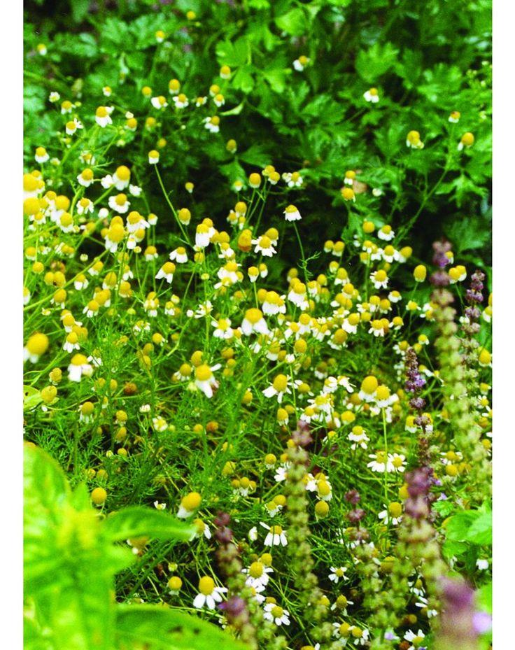 17 Best Images About Garden Seeds Herbs On Pinterest