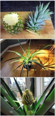 How to grow a pineapple from another pineaple    You Will Need:  - A pineapple  - A small bowl of water  - Planting pots  - Potting soil