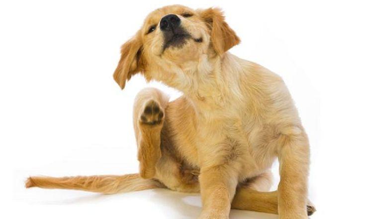 ICYMI: Mi perro se rasca mucho…. ¿A qué se debe?