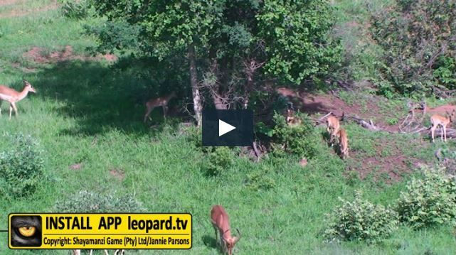 The impala is a mixed feeder that feeds on grass and flowers in the wet season and leaves in the dry season. The habitat is open woodland and it avoids grasslands, wetlands and mountainous regions, not normally occurring higher than 1400 m above sea...Read more! #leopardtv #wildlife