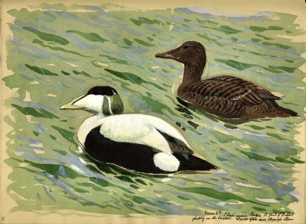 Pair of Eiders: from Charles Tunnicliffe's Sketch Books