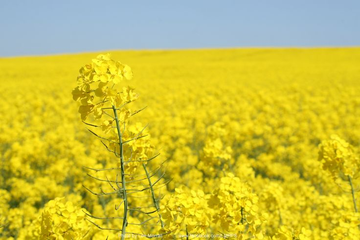 Fields of Yellow - near to where the Staffordshire Hoard was discovered, Chasetown, Staffordshire, England.