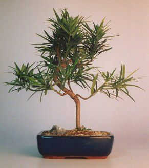 "Flowering Podocarpus Bonsai Tree - ""Styled""(podocarpus macrophyllus)"