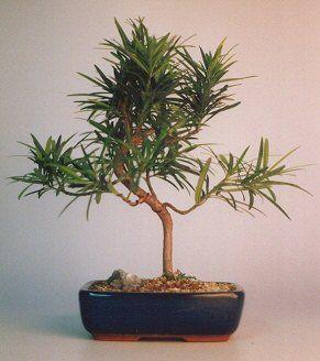 "Flowering Podocarpus Bonsai Tree - ""Styled""(podocarpus macrophyllus)"