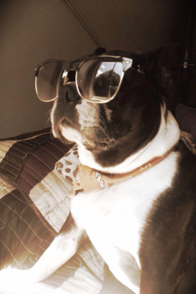 Stylish Boston terrier