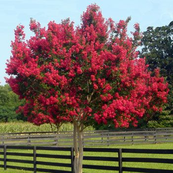 Dynamite crape myrtle trees fast growing trees and for sale - Fastest growing ornamental trees ...