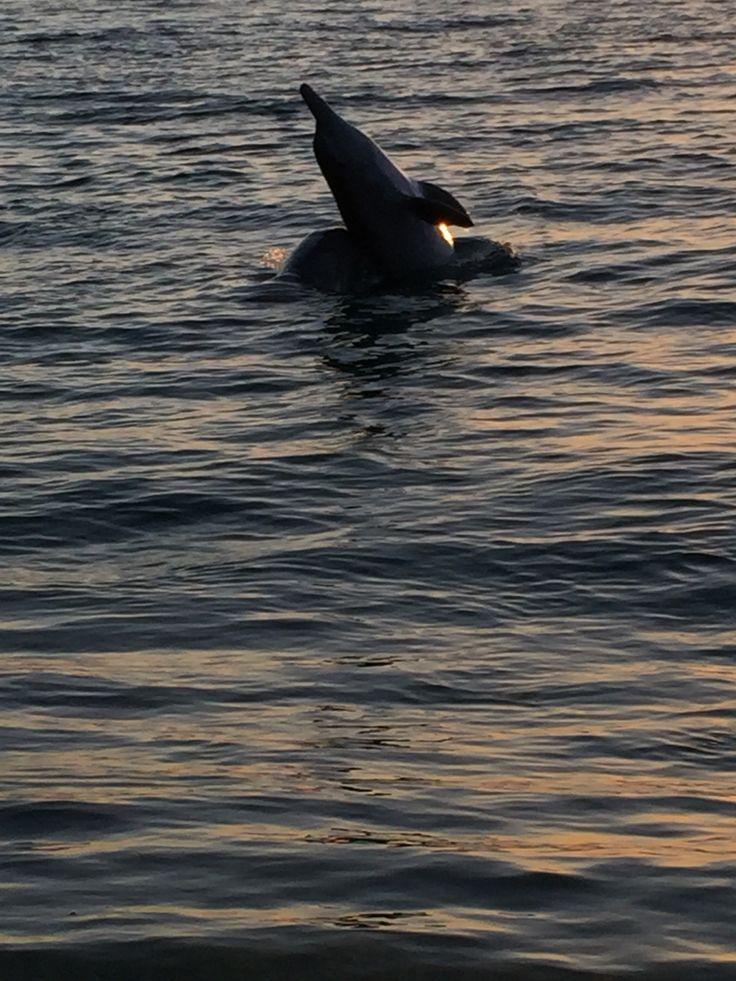 Dolphins playing in Stradbroke Island