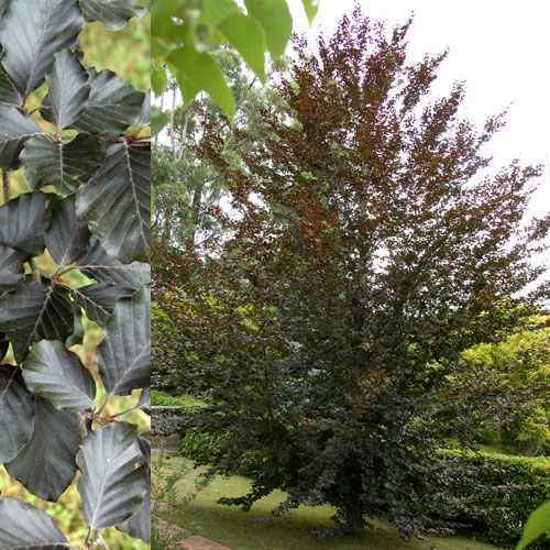 Fagus sylvatic f. purpurea: The purple beech tree is large and stately...