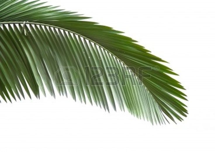 5596428-leaves-of-palm-tree-isolated-on-white-background.jpg (400×284)