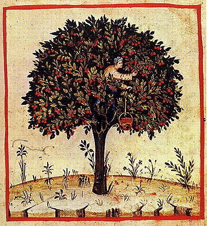 Harvesting cherries. He is in the tree with his basket on a rope.