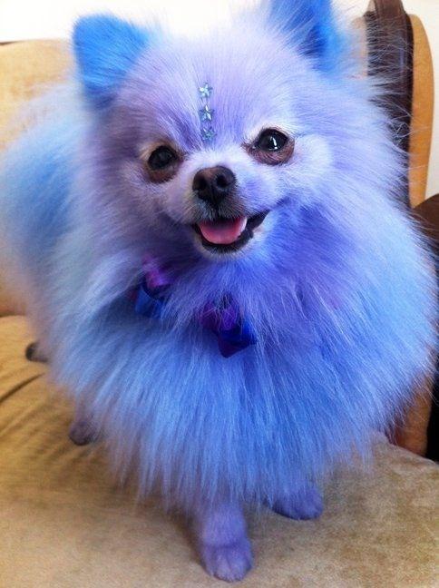 Blue Pomeranian Scary But Still Fluffy Dyed Dogs