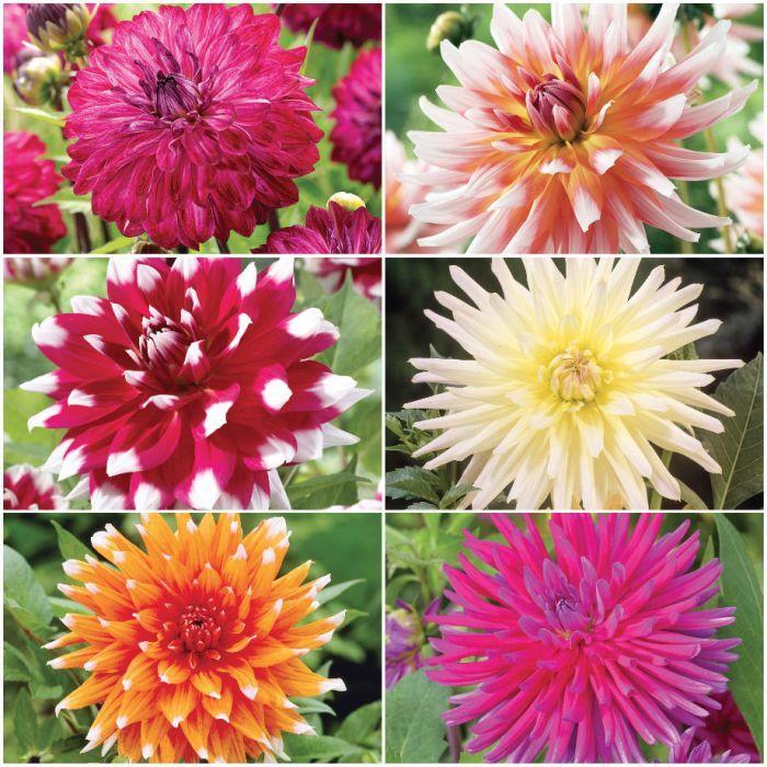 Dahlia Collection 3 Garden Bulbs Flowers Dahlia