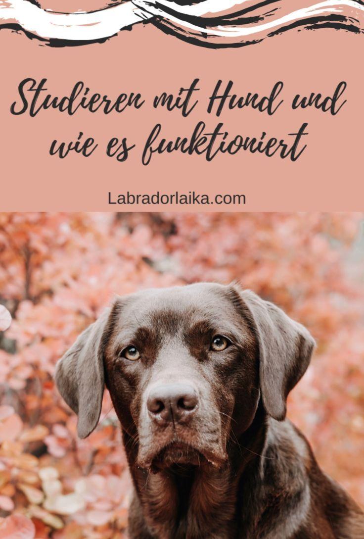 Studieren Mit Hund In 2020 Hunde Studieren Labrador Retrievers