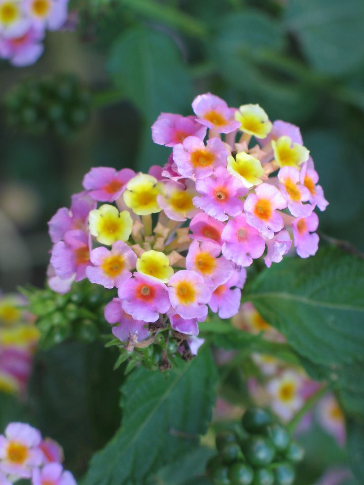 awesome Lantana flower Free For Mobile