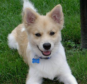 Looks Like Boca Doggies Dogs American Eskimo Dog Dog Mixes