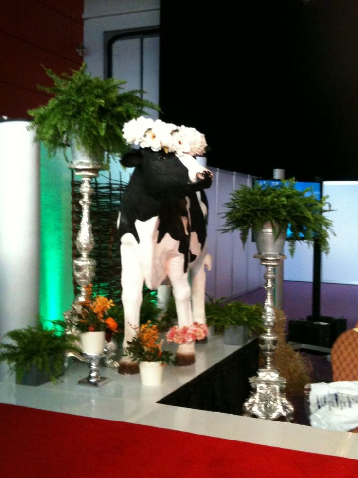 A cow on the stage!