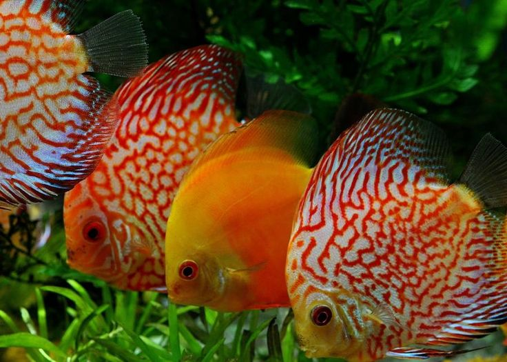 213 best images about fresh water discus fish on pinterest for Live discus fish for sale