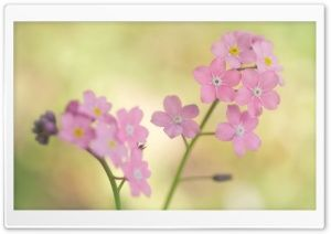 Pink Forget me not Flowers HD Wide Wallpaper for Widescreen